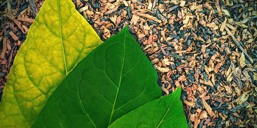 Tabak (Nicotiana tabacum)