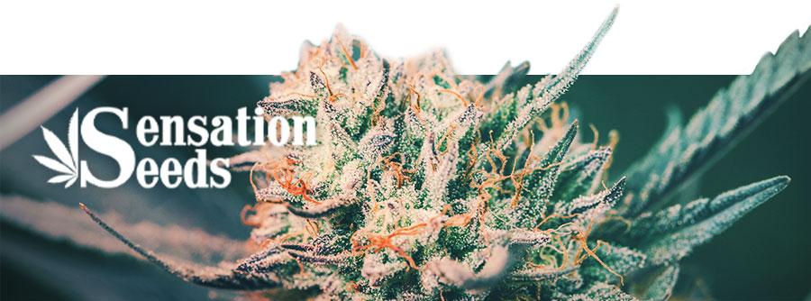 Informationen Über Sensation Seeds