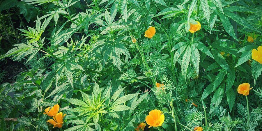 Besten Tipps für mehr Ertrag von Autoflowers: Begleitpflanzenarten