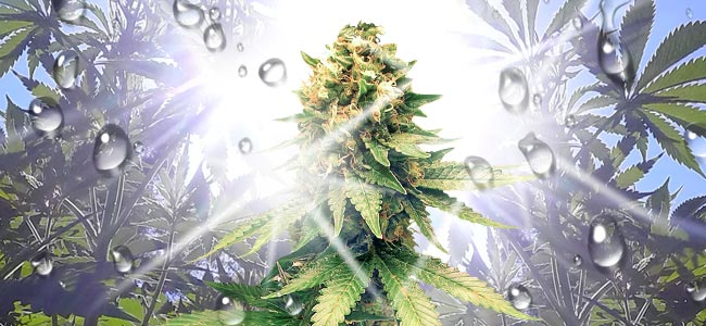 Anbau Von Cannabis Im Freien