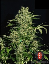 Chronic feminized Serious Seeds
