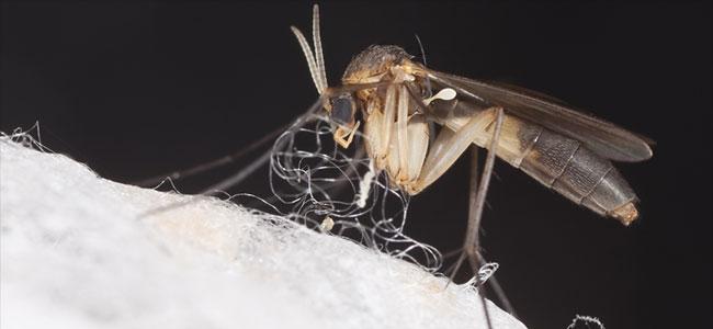 Zauberpilzkultur mit Fliege
