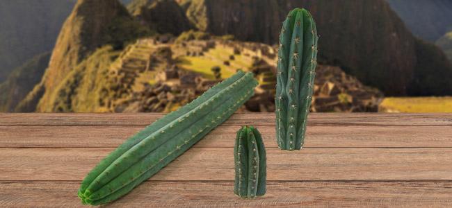Peruanische Stangenkaktus
