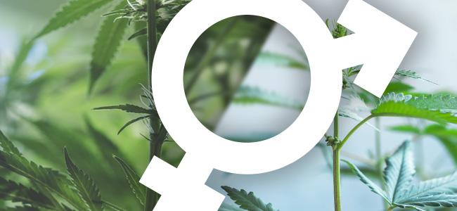 Cannabis Hermaphroditen