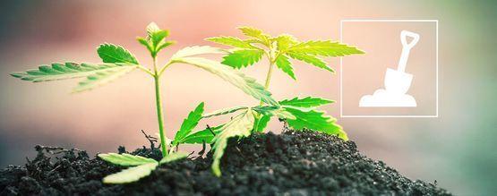 Alles, was Du über den Cannabisanbau in Erde wissen musst
