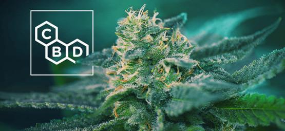 CBD-Reiche Cannabis Sorten