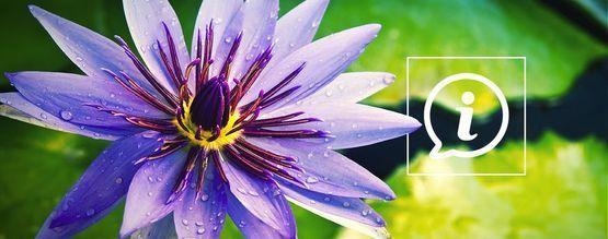 Was Ist Blauer Lotus?
