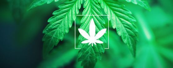 Was Ist Cannabis Indica?