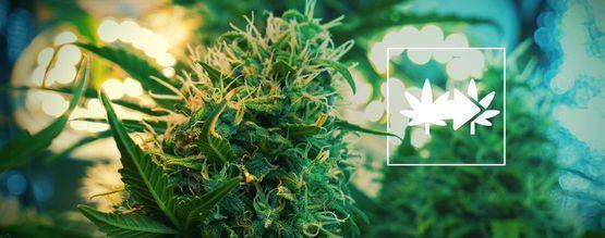 Die Beste Methode, Cannabispflanzen Zu Klonen