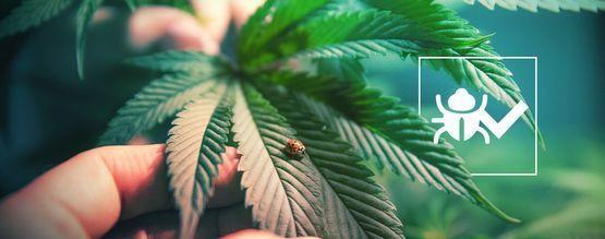 Insekten, Die Das Wachstum Von Cannabis Fördern