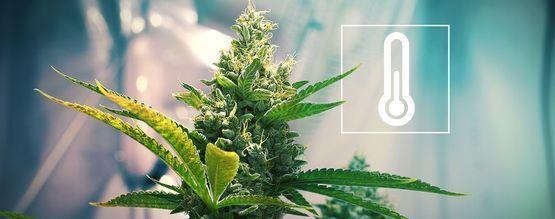 Die Wichtigkeit Der Temperatur Im Cannabisanbauraum