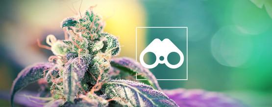 Suche Nach Cannabis-Phänotypen: Alles, Was Du Wissen Musst