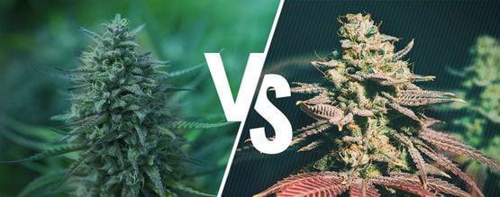 Photoperiodisch Vs. Autoflowering: Welches Ist Das Beste Cannabis Für Dich?