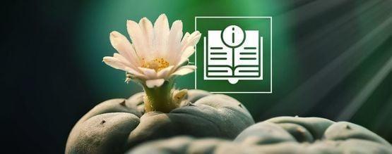 Die Ultimative Anleitung Für Den Mescalin-Kaktus
