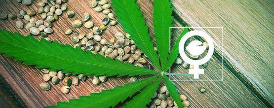 Was Sind Feminisierte Cannabissamen?