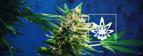 Wie Man Den Ertrag Mit Autoflowering Cannabis Maximiert
