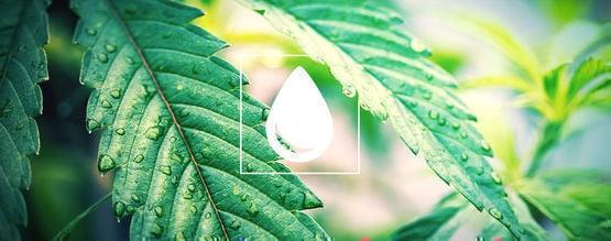 Anbauratgeber: Wie Man Cannabispflanzen Bewässert