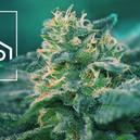 Was Sind CBD-Reiche Cannabissorten?