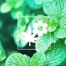 Verbessere Deinen Cannabisanbau Durch Beipflanzung: Minze