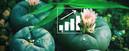 Peyote-Samen: Wie Du Deinen Eigenen Peyote-Kaktus Anbaust