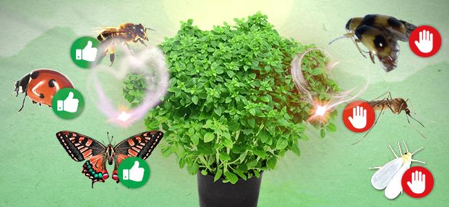 Begleitpflanze Zum Cannabisanbau: Basilikum