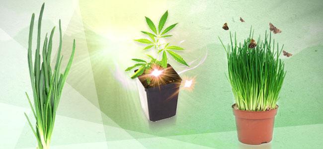 Cannabis Beipflanzung: Schnittlauch