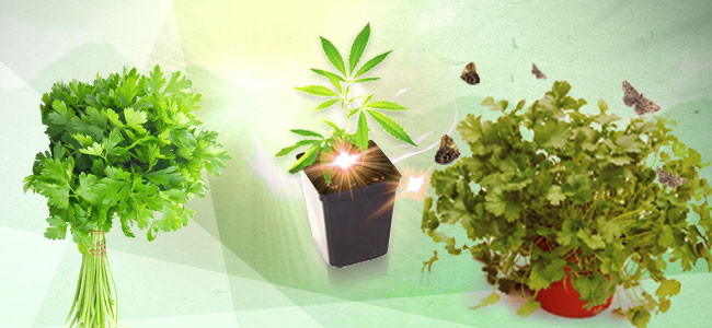 Cannabis Beipflanzung: Koriander