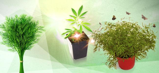Cannabis Beipflanzung: Dill