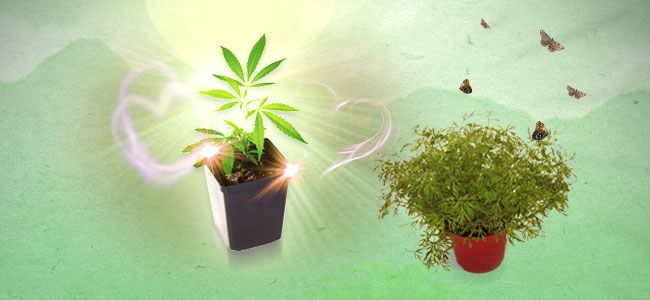 Cannabis Beipflanzung Dill