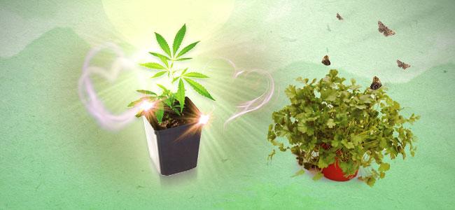 Koriander und Cannabis