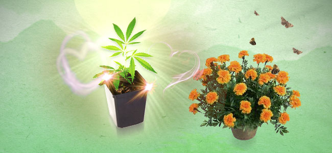 Cannabis Beipflanzung Ringelblume