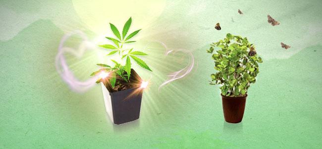 Minze und Cannabis