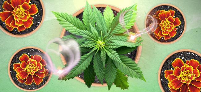 Schutzgürtel um Dein Cannabisbeet