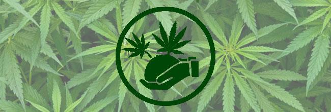 Organischer Cannabis