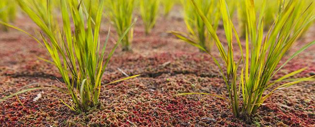 Reis mit Azollo zur Beipflanzung