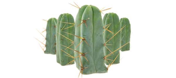 Cactus der vier Winde