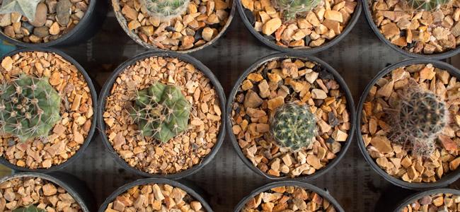 Anleitung Für Den Mescalin-Kaktus