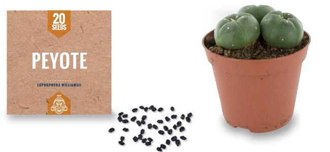 Peyote Samen