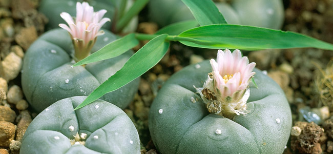 Kleiner Peyote-Kaktus