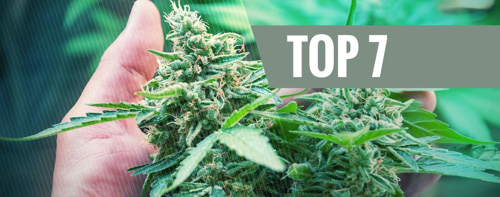 Cannabispflanze Stressen