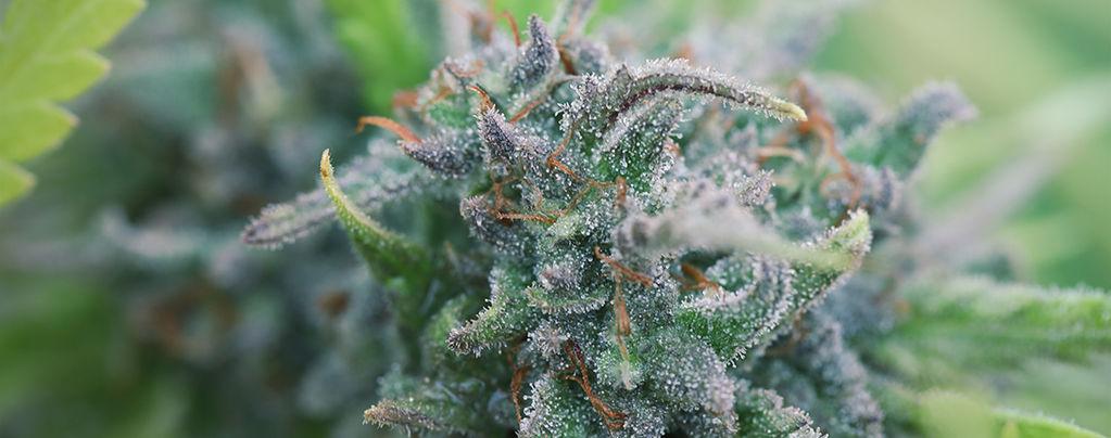 Biologischen Cannabisanbau