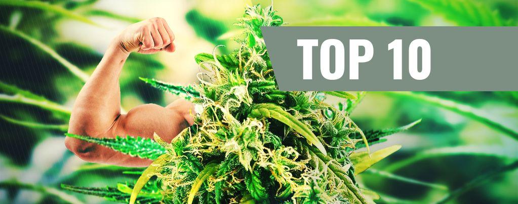 Die 10 THC-reichsten Sorten
