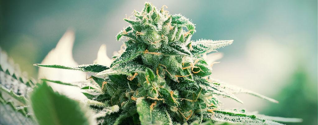 Der Ursprung Von Haze-Cannabis