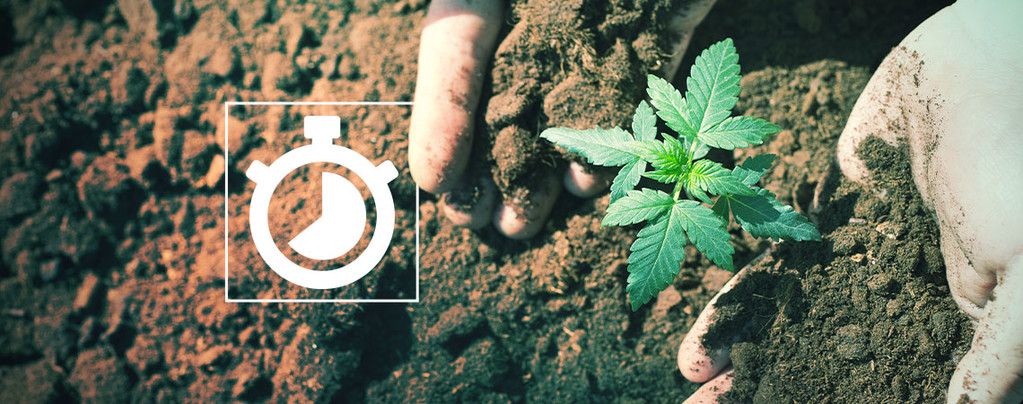Anbauen Cannabis