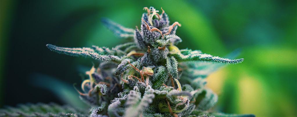 D Cannabissorten für die Schmerzlinderung