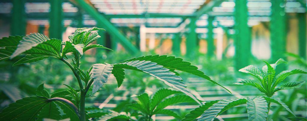Wie Vertikaler Cannabisanbau Funktioniert