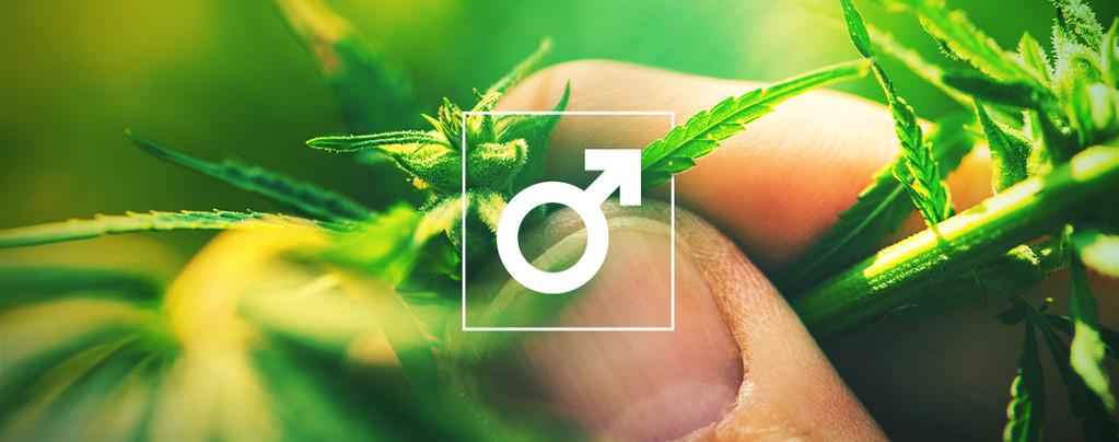 Männlichen Cannabispflanzen Haschisch