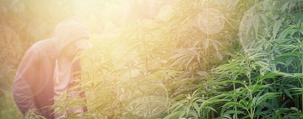Cannabissorten Für Den Guerilla-Anbau