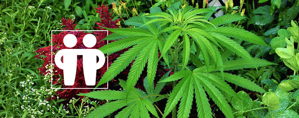 Deine Cannabispflanzen Fördern Und Schützen