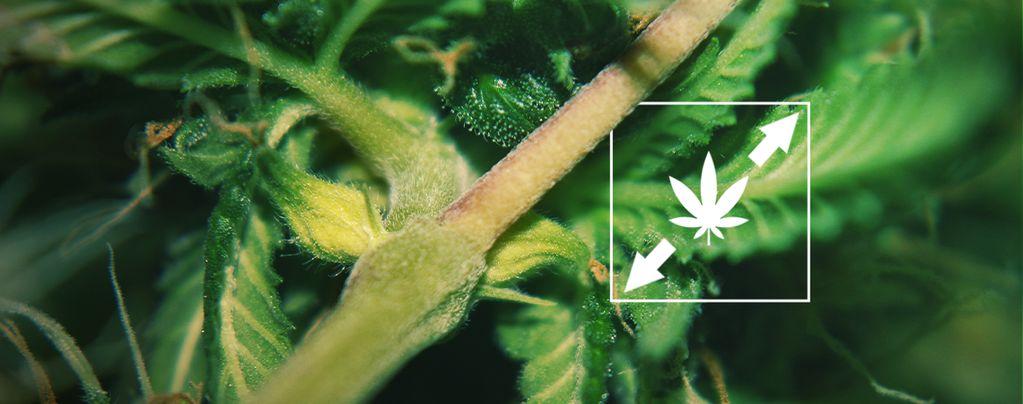 Strecken Cannabispflanzen
